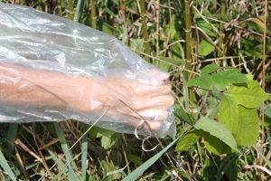 While you go to grab the poison Ivy plant take care not to snag the bag on other plants that might tear or poke holes in the bag.