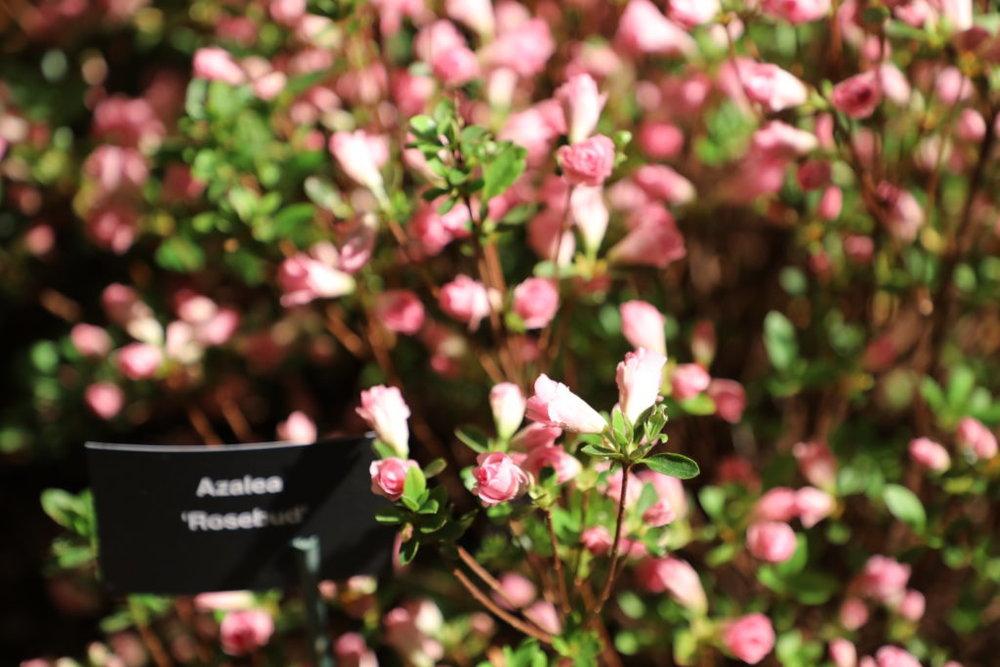 "©Betsy Gibson Design, ""Rosebud"" Azalea, Nursery Exhibitor, Boston Flower Show 2019"