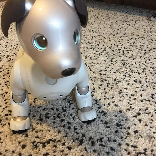 Aibo on day 1 fresh out of the robot womb