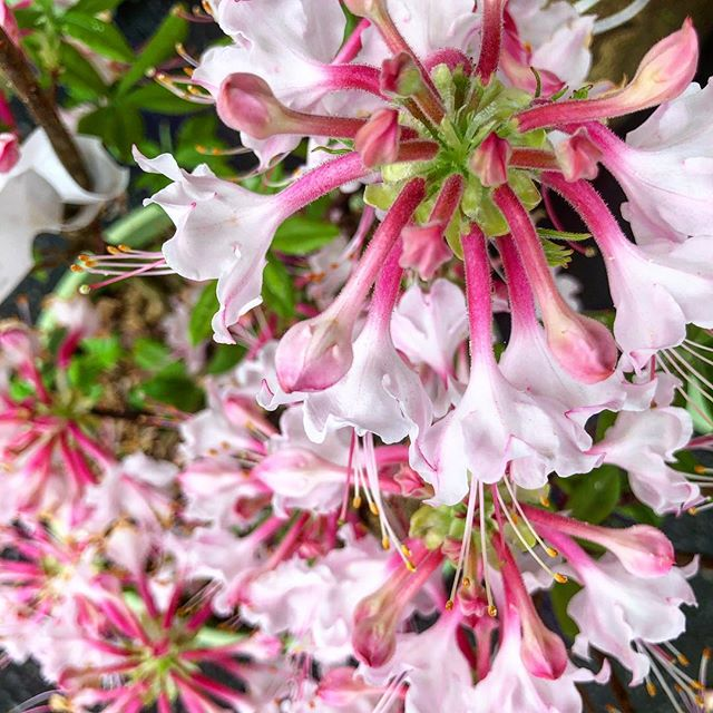 Why support big box stores, when you can find these beauties through your local growers? The Growing in the Mountains plant sale is the perfect place to meet your growers ask questions about gardening, and find unique plants native to our area (like these native Azaleas) 🌸 And it's happening RIGHT NOW! The sun is shining and we're out at the WNC Farmers Market today until 5! Easy access from I-26 and 40, with parking right at the show. How better to load up all your new plant babies? 🌱 . . #garden #homestead #homesteading #828isgreat #azalea #nativeplants #pollinator #pollinatorgarden #pollinators #savethebees #garden #gardening #landscapedesign #landscapearchitecture #plants #plantsofinstagram #plantsale #growyourfood #asheville #ashevillenc #wnc #farmersmarket #farmers #plantsforsale #eatlocal #localgrown #medicinalherbs #medicinalplants