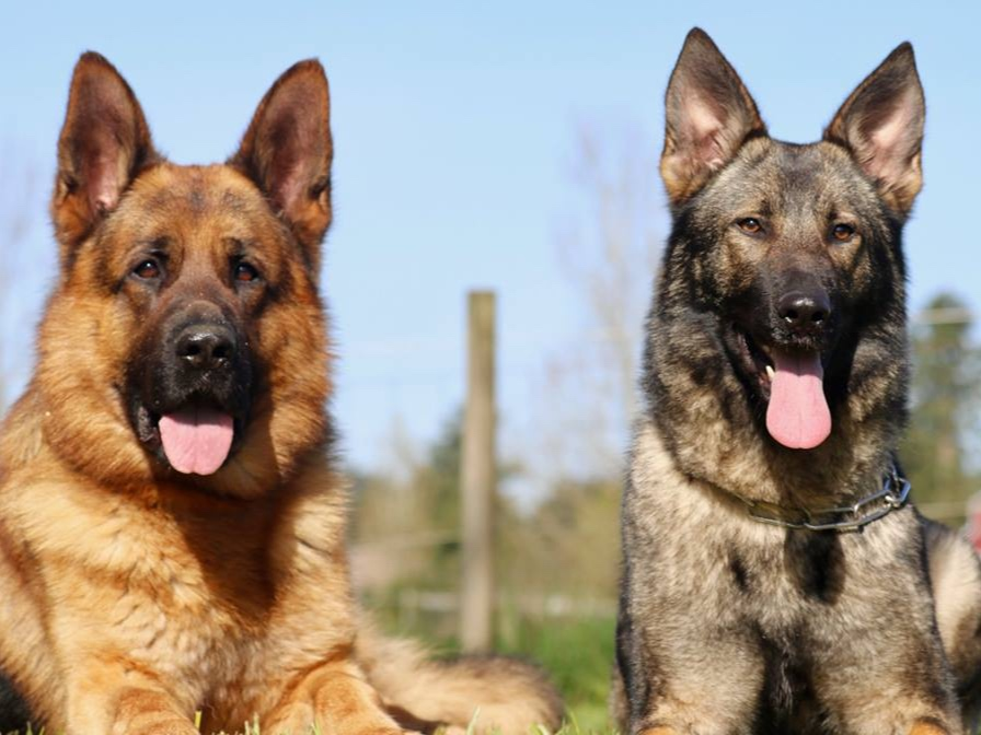Obedient ProtectionDogs -