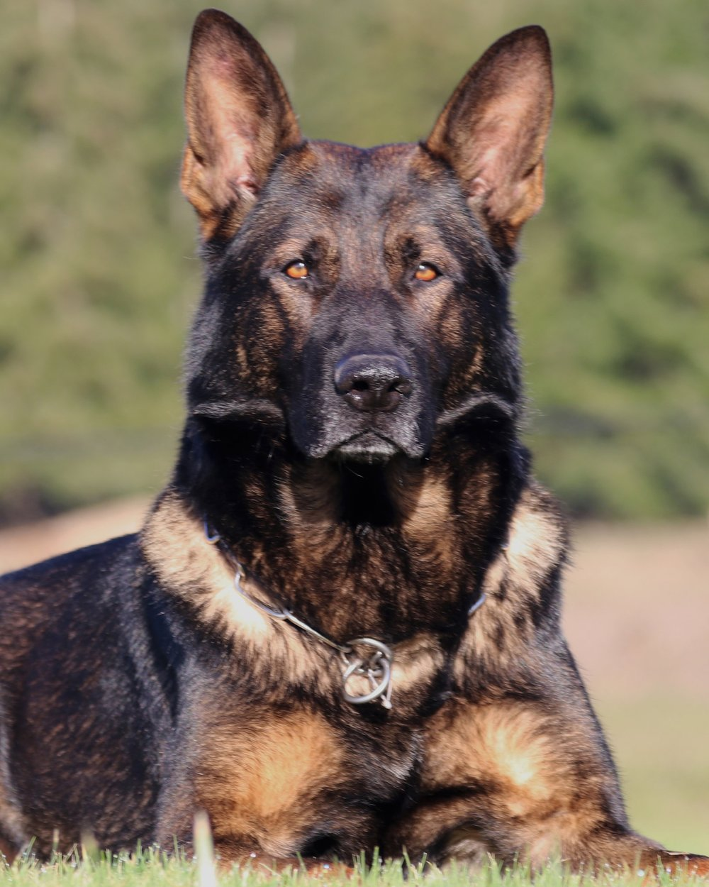 Max vom Haus Cismar - SG: Very Good; an official German show grade and the highest obtainable by dogs under two.BH: Basic companion dog - traffic sureness. AD: Endurance test (Aus dauerprufing )IPO1: International Novice Schutzhund trial qualification IPO2: International Intermediate Schutzhund IPO3: International Masters level Schutzhund (100-96-99)KKL: survey class GENDER: Male