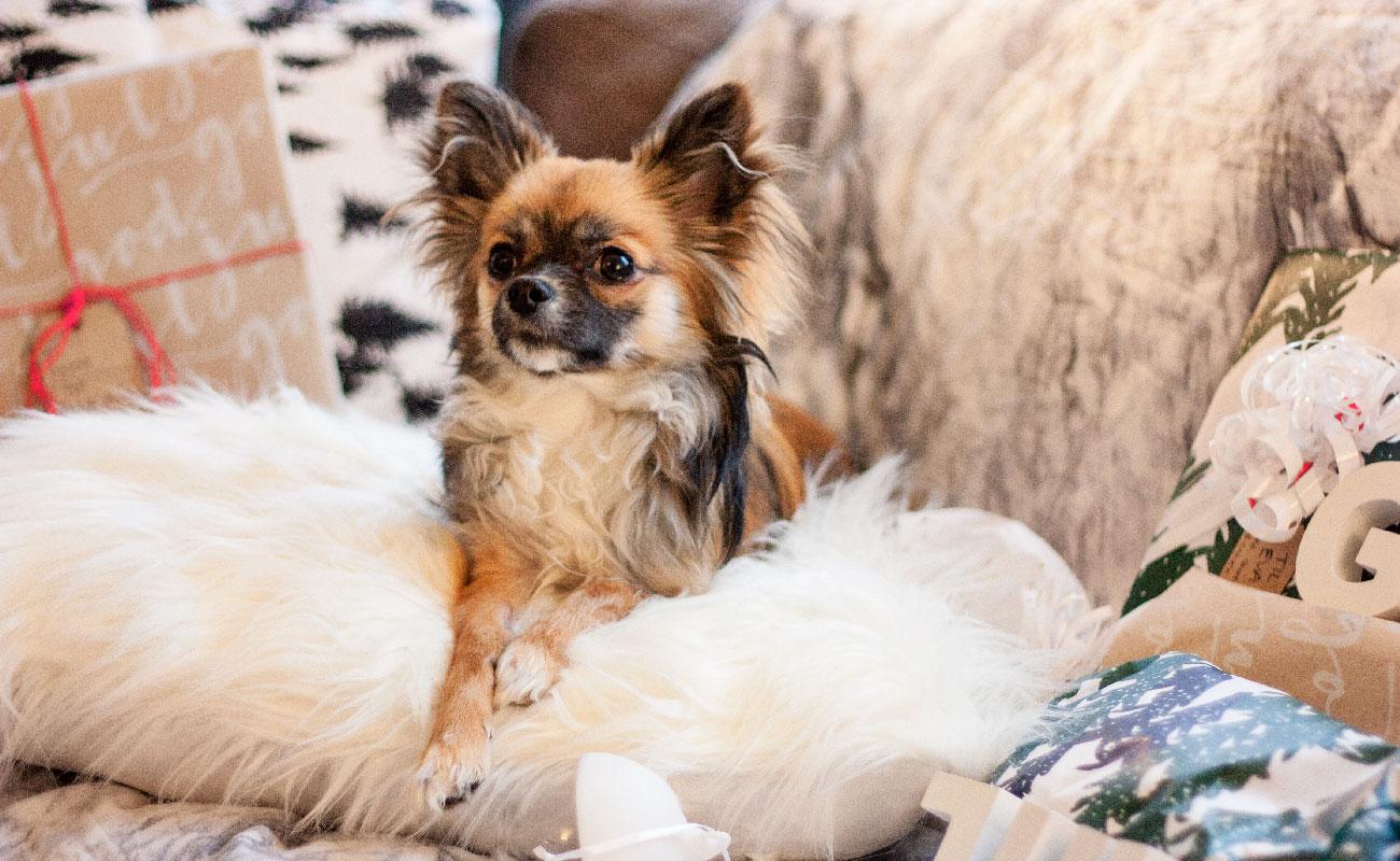 Chihuahua i julestemning