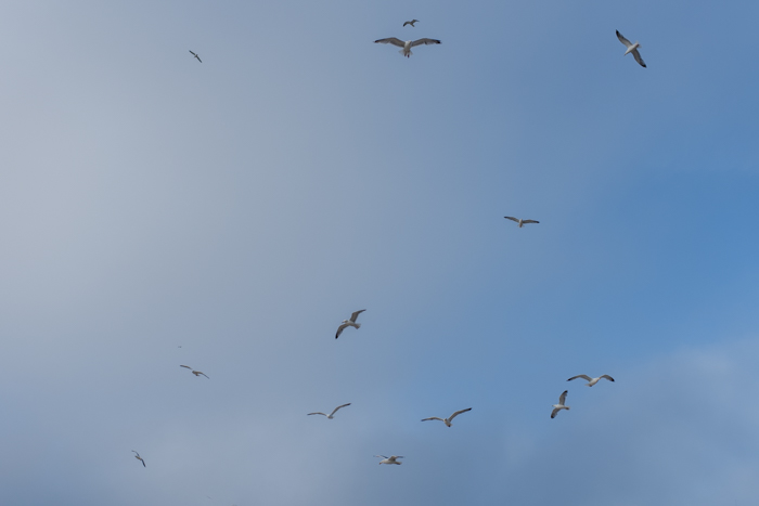seagulls st ives-1