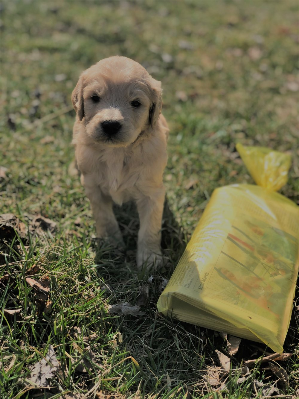 Goldendoodle Puppies For Sale In New Jerseynew York