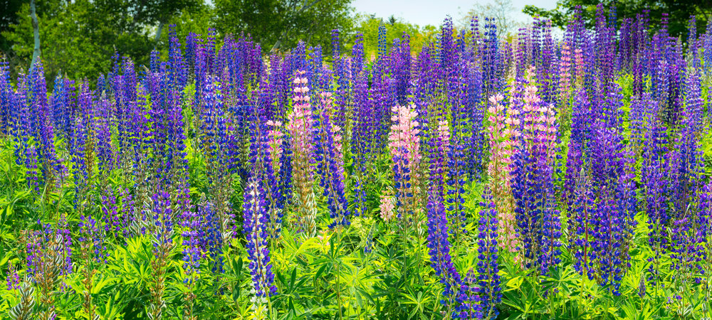 lupines-in-somesville-1a.jpg