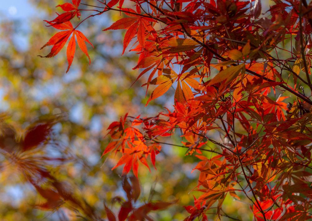 pauley tree maple.jpg