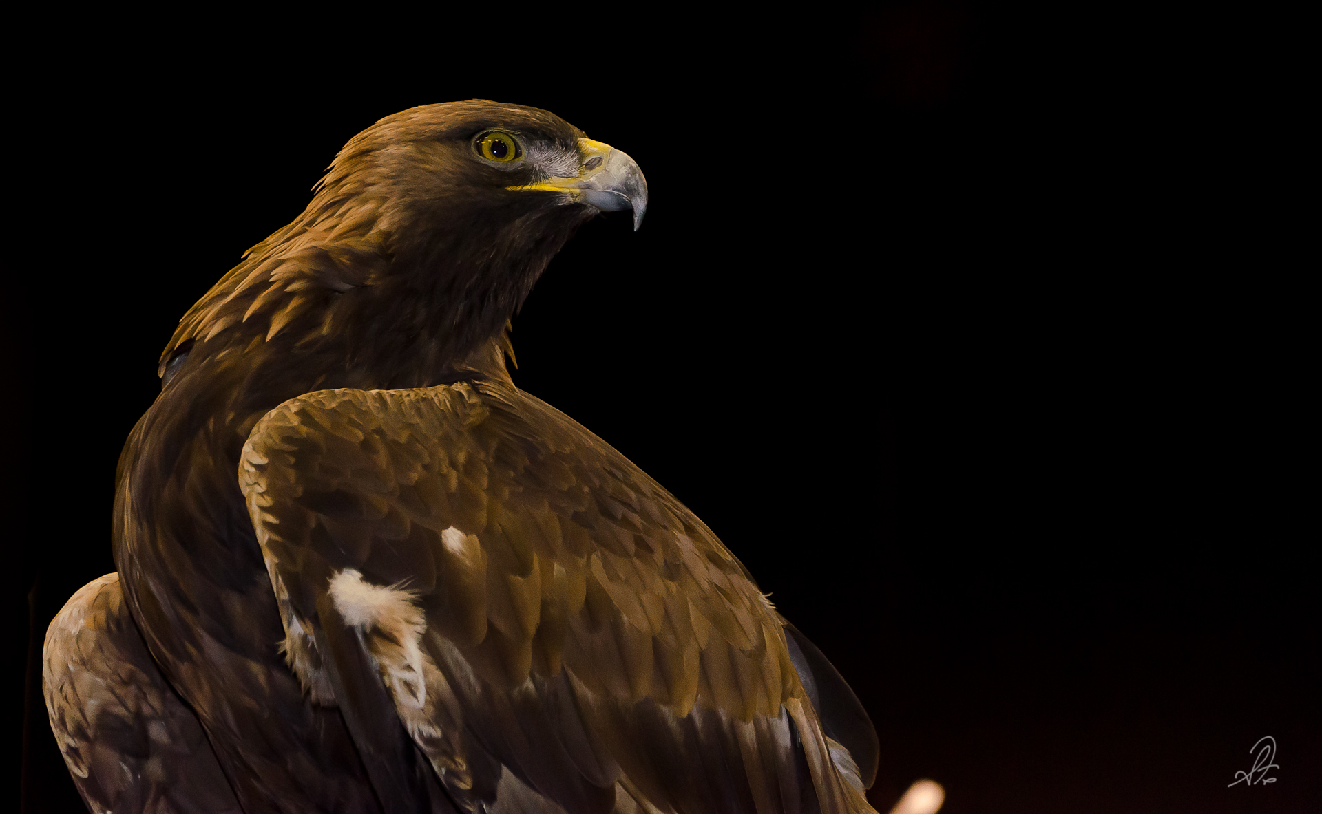 Auburn Golden Eagle Nova