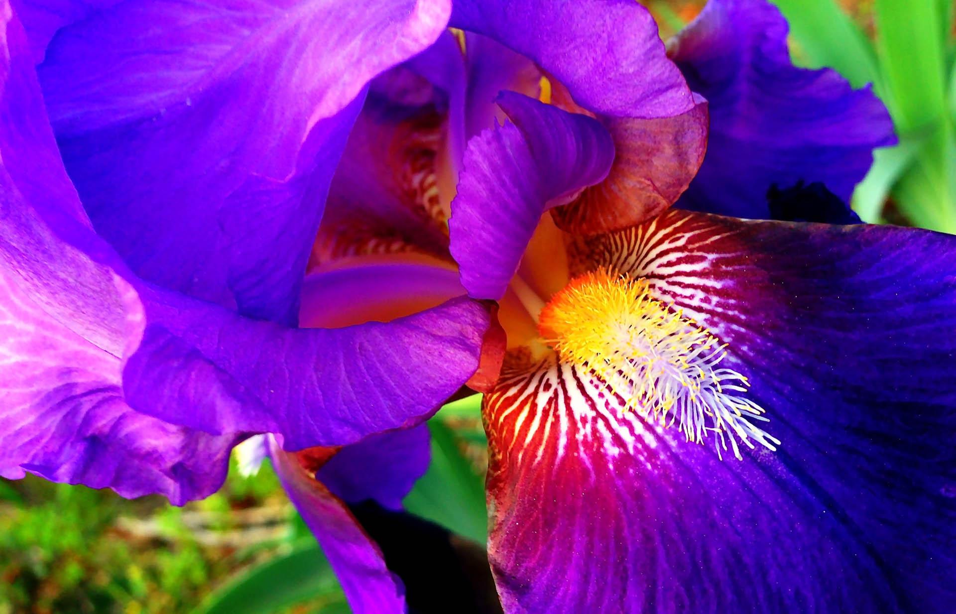 Iris in Bloom in Auburn