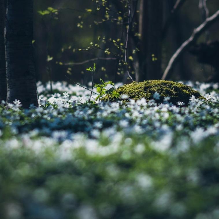 NATUR - ÖSTERLENS STJÄRNAÖsterlens Stjärna (tidigare Gislövs Stjärna) är en stor bokskog mitt bland alla åkrar, där marken är helt täckt av vitsippor under våren.Tips inskickat av: www.instagram.com/malin.ahr