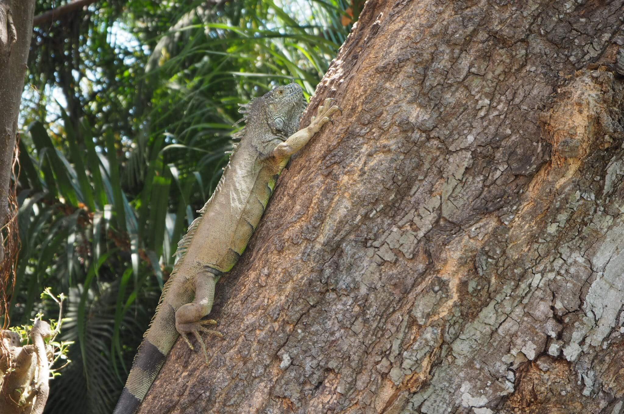 iguanas up a free in the hotel grounds
