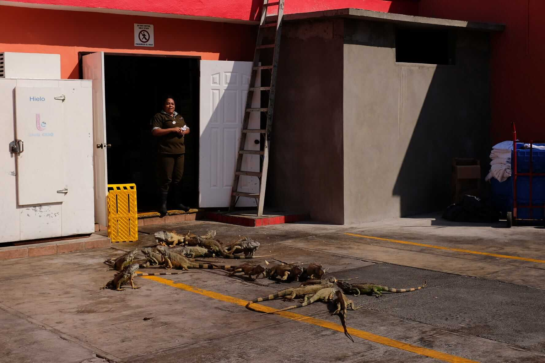 iguanas at the back of the kitchens
