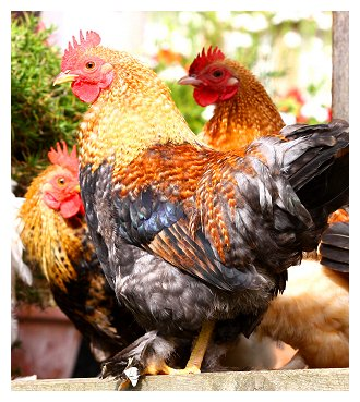 brook-farmhouse-hens.jpg