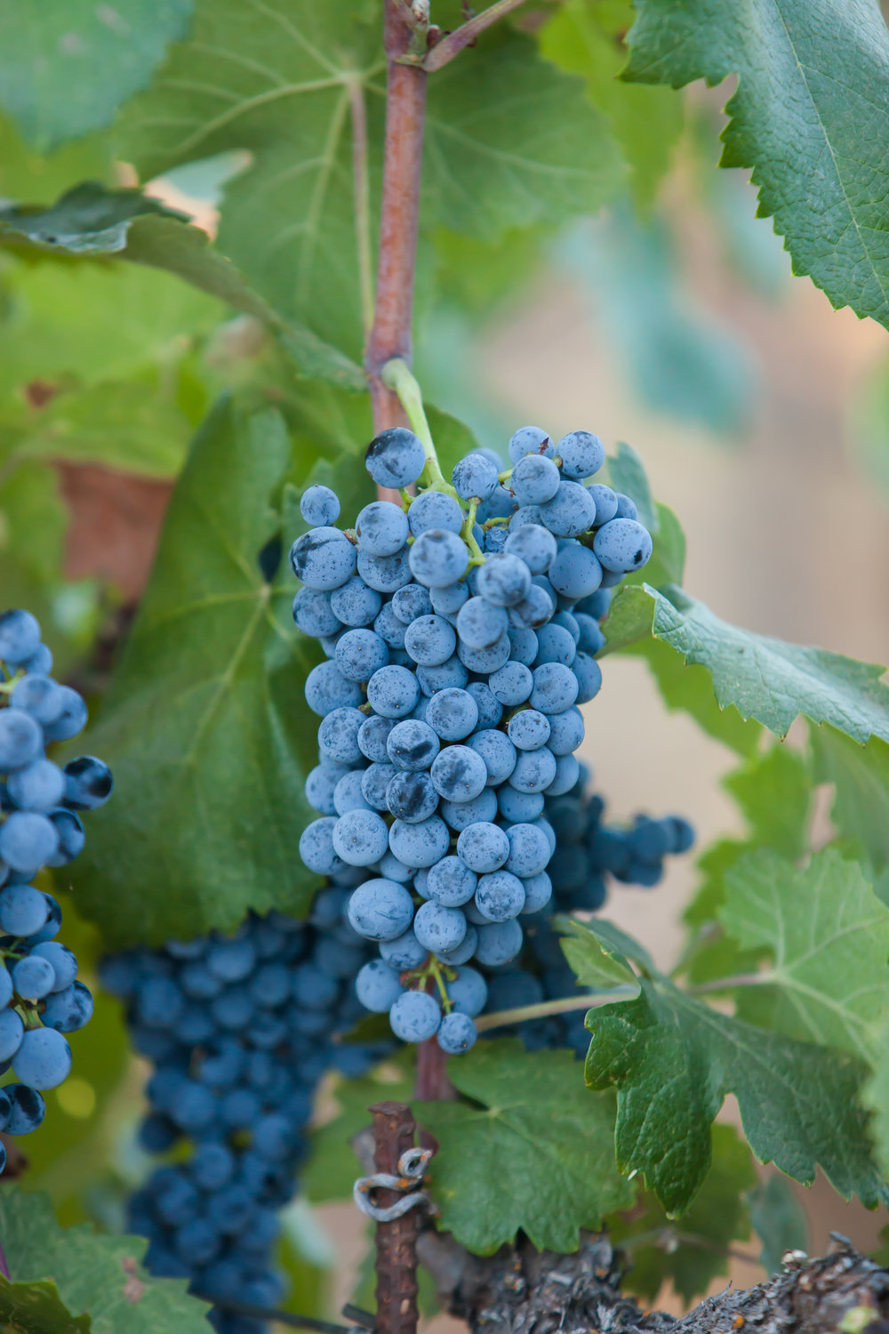 Graciano - Budwood: Available2019 Grapes available: 1-2 tons Certified Sustainable