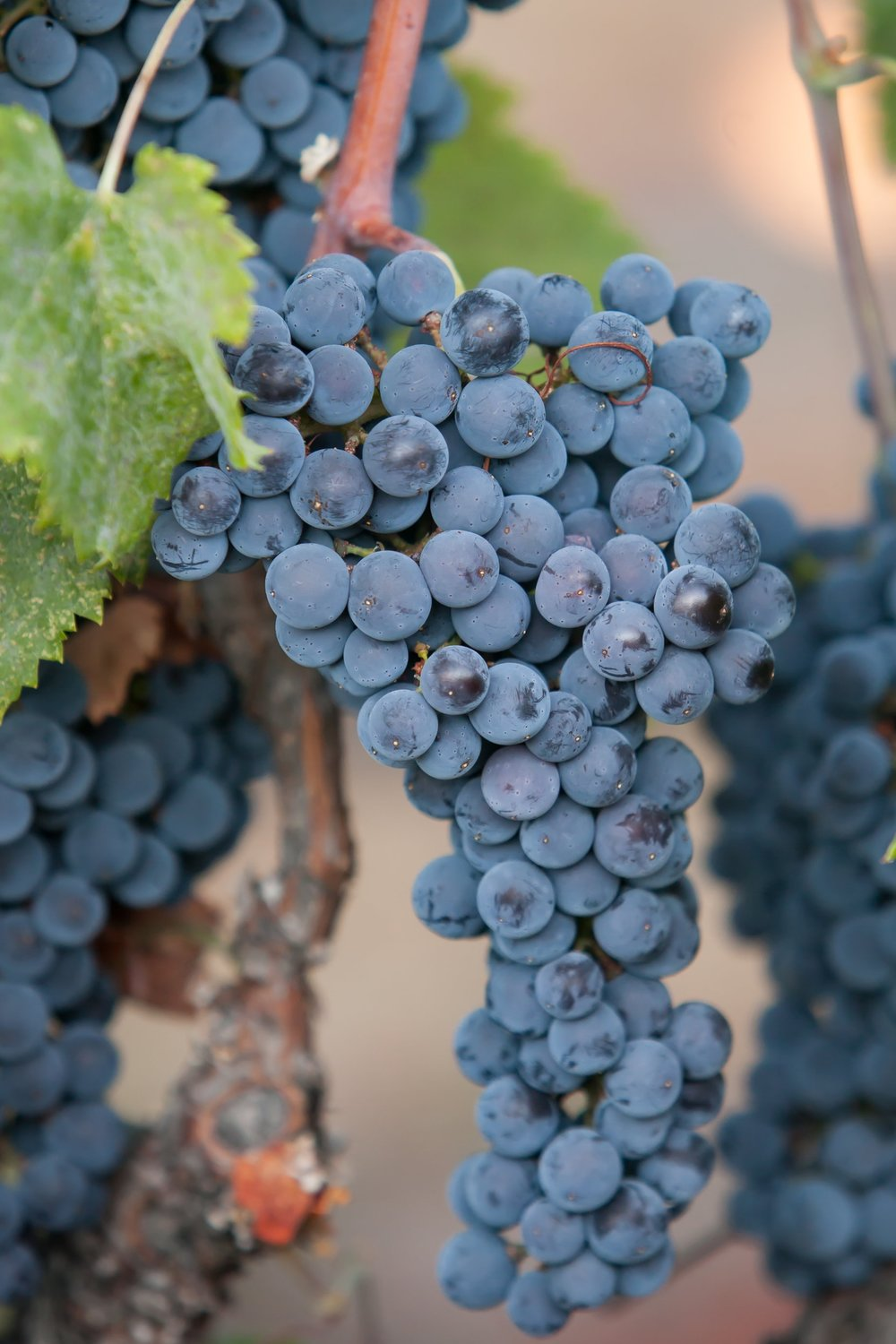Merlot - Budwood: Available2019 Grapes available: 5 tons CCOF Certified