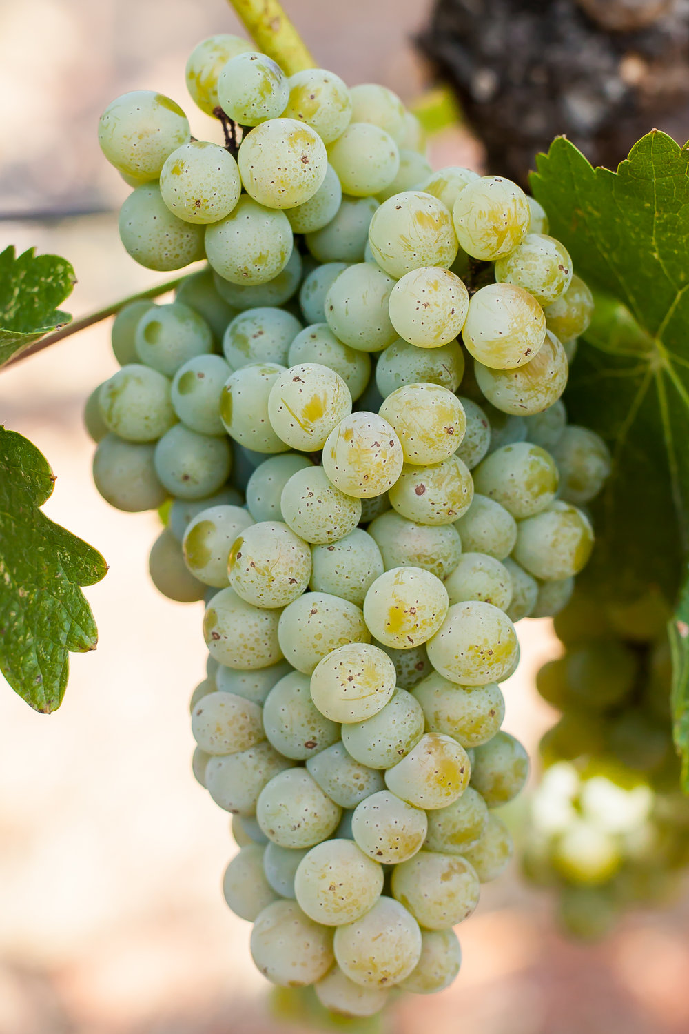 Sauvignon Blanc - Budwood: Available2019 Grapes available: 10 tons
