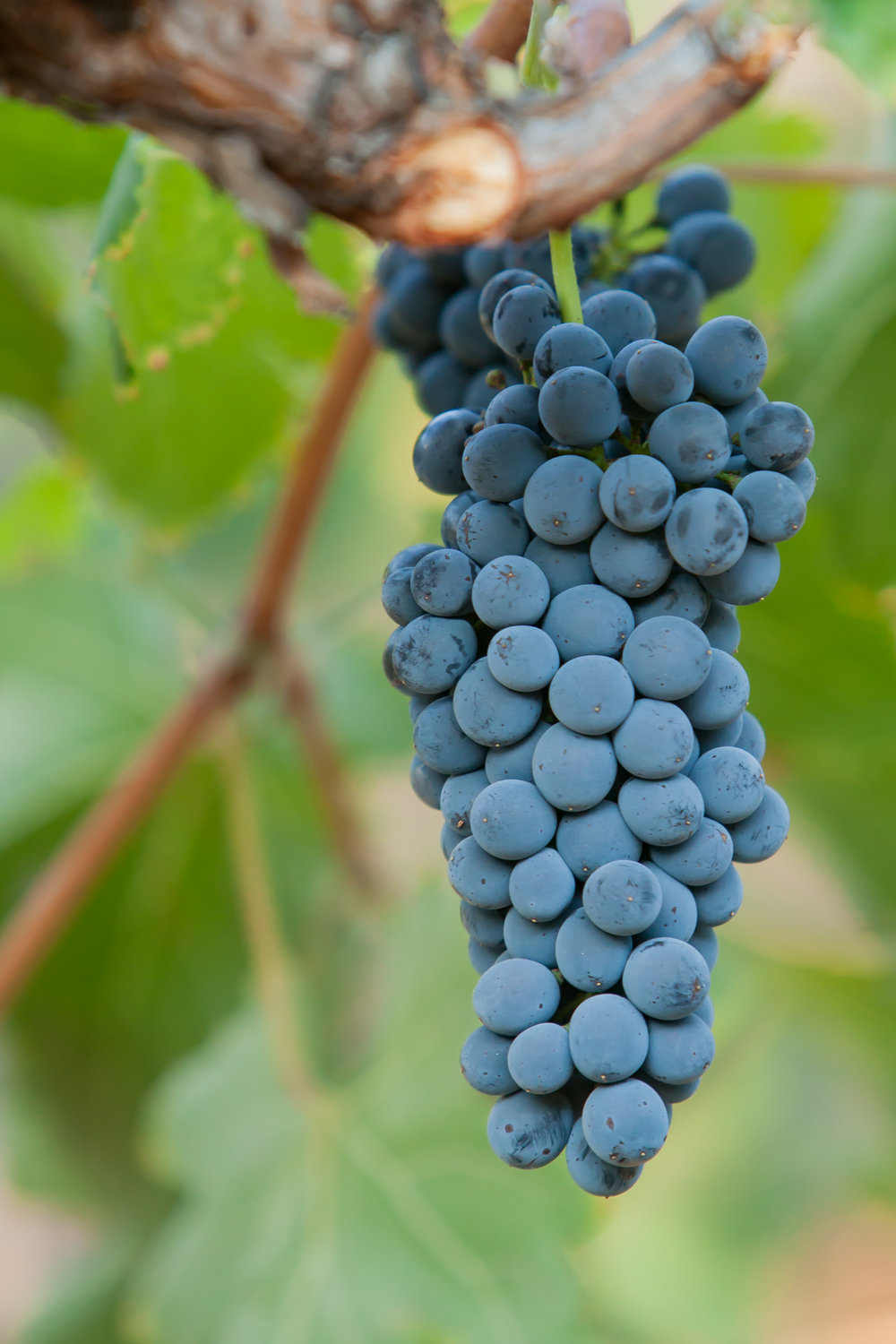 SYrah - Budwood: Available2019 Grapes available: Certified Sustainable Syrah 3-5 tons CCOF Certified Syrah 6 tons Syrah - 20 tons