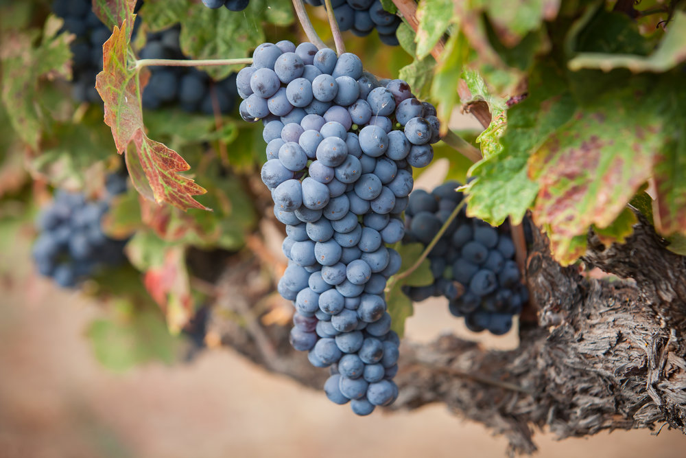Zinfandel - Budwood: Available2019 Grapes available: 5 tons CCOF Certified