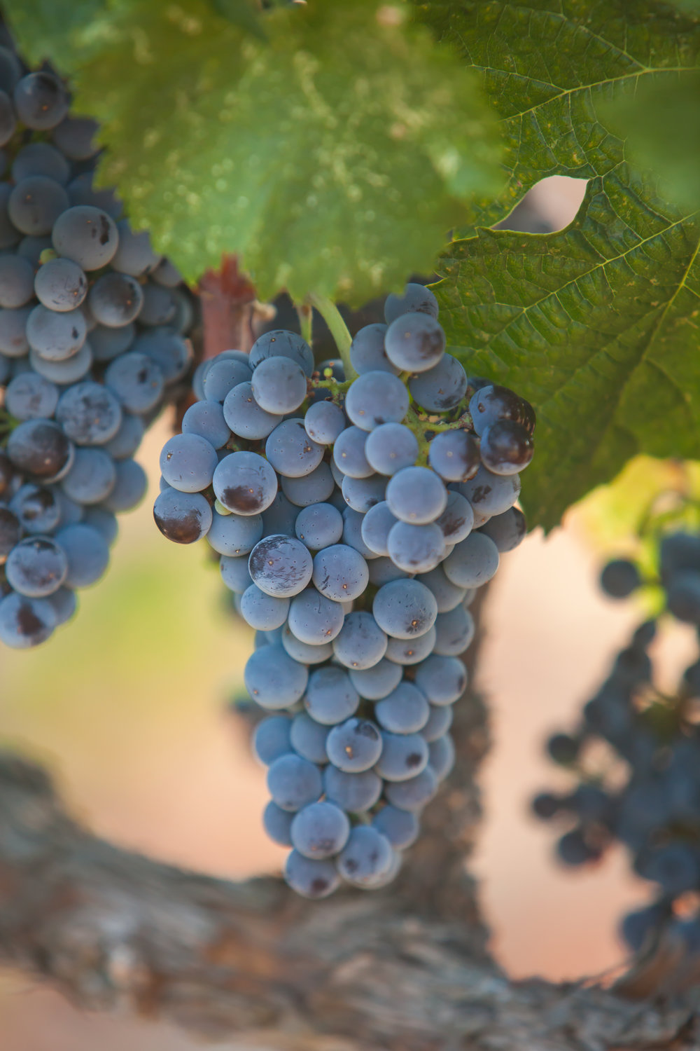 Barbera - Budwood: Available2019 Grapes available: 5 tons
