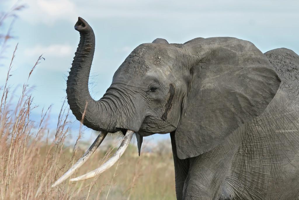 elephant_warning_raised_trunk