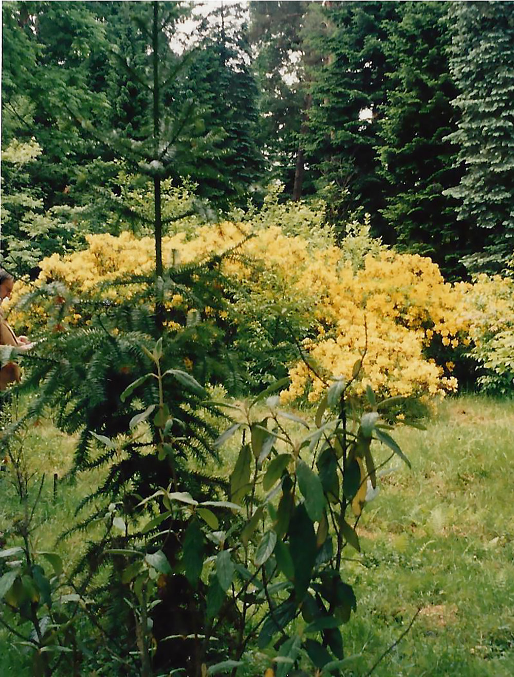Image-10-Poland-Rhododendron-luteum-in-the-Jagiellonian-Univeristy-B-1.jpg