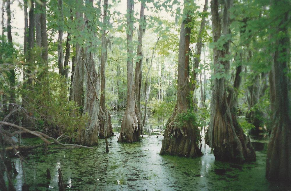 Image-9-N.-Carolina-Merchants-Mill-Pond.-Taxodium-distichum-1.jpg