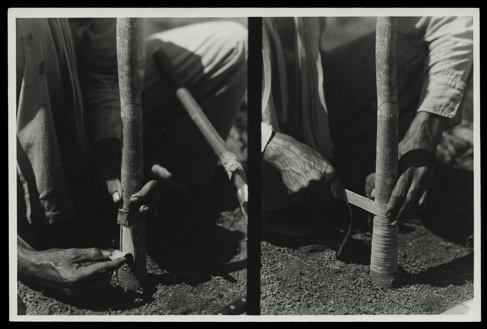 """(research image) """"Two Views of Budding Operations,"""" Fordlandia, Brazil (undated). Typed on verso: """"Two views of budding operations."""" 4.5 x 6"""" gelatin silver fiber print. Creator: Companhia Ford Industrial Do Brasil Ford Motor Company. From the Collections of The Henry Ford."""