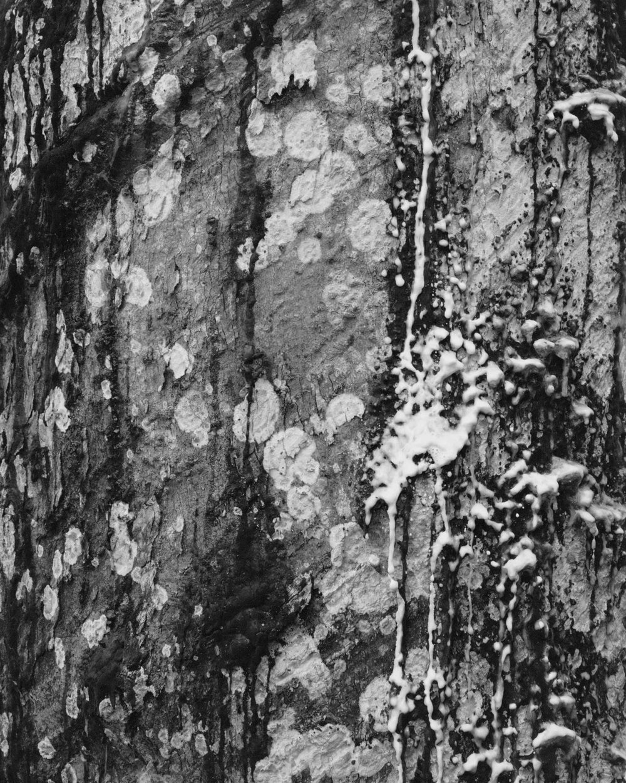 Incised rubber tree latex No. 1, May, 2014, Michelin Rubber Plantation, Bahia, Brazil. 2014/2018