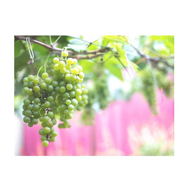 INSPIRATION // Les vignes de Cassis grandissent au soleil, se gorgent de ses rayons chauds et rendent une pulpe précieuse, fraîche et fruitée.  It means: Live long, drink wine ✨ . . #courpré #frenchjewelry #joailleriefrancaise #inspirationoftheday #greenandpink #winecountry #rosewine #bandol #cassis