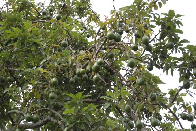 Avocado_Tree_(2473587957)