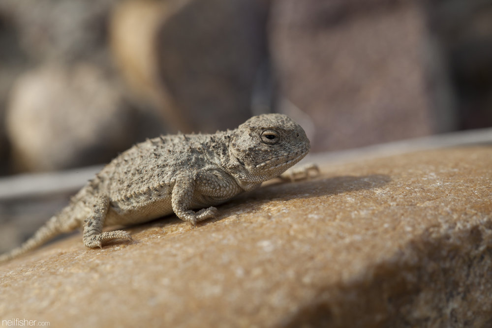 20160511 - Greater short-horned lizard (4) - NeilFisher.jpg