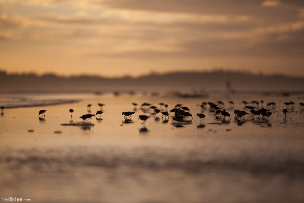 A number of Western sandpipers dodge the waves rolling up the beach as they search for food. The setting sun provided a warm back light for this photo, making for great silhouettes. EXIF 1/5000 sec f/2.8 ISO400 200mm