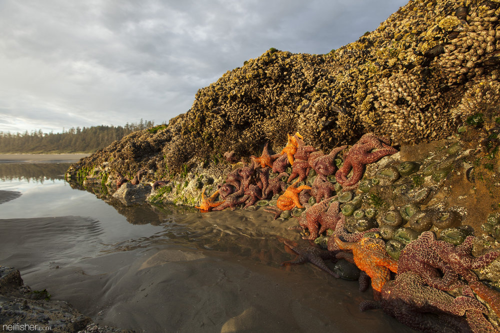 With the beach in the background the colours of the purple and orange ochre sea stars are enhanced by the low light of the setting sun. The top of this rock in encrusted by both goose neck barnacles and California mussels. The low tide made it possible to explore parts of Green Point typically underwater. EXIF 1/15sec f/8.0 ISO100 16mm