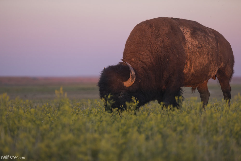 """North America's largest mammal may appear to be nothing more than gigantic lumbering cows as they calmly graze and meander across open plains, but if needed they can effortlessly outrun a person and reach speeds of sixty-five kilometres per hour. Attempts to domesticate bison in the early 20th century had little success and they were described as having """"wild and ungovernable tempers"""". An 800 kilogram bison can launch itself two metres vertically. In Yellowstone National Park between 1980 and 1999 more than three times as many people were injured by bison than both black and brown bears combined – the former coming into contact with seventy-nine people. Though ultimately bison are a prey species and when faced with fight or flight – it's as if they magically sprout wings.  EXIF 1/320sec f/5.6 ISO 500 215mm July 6th 2015 20:58 Grasslands National Park, SK"""