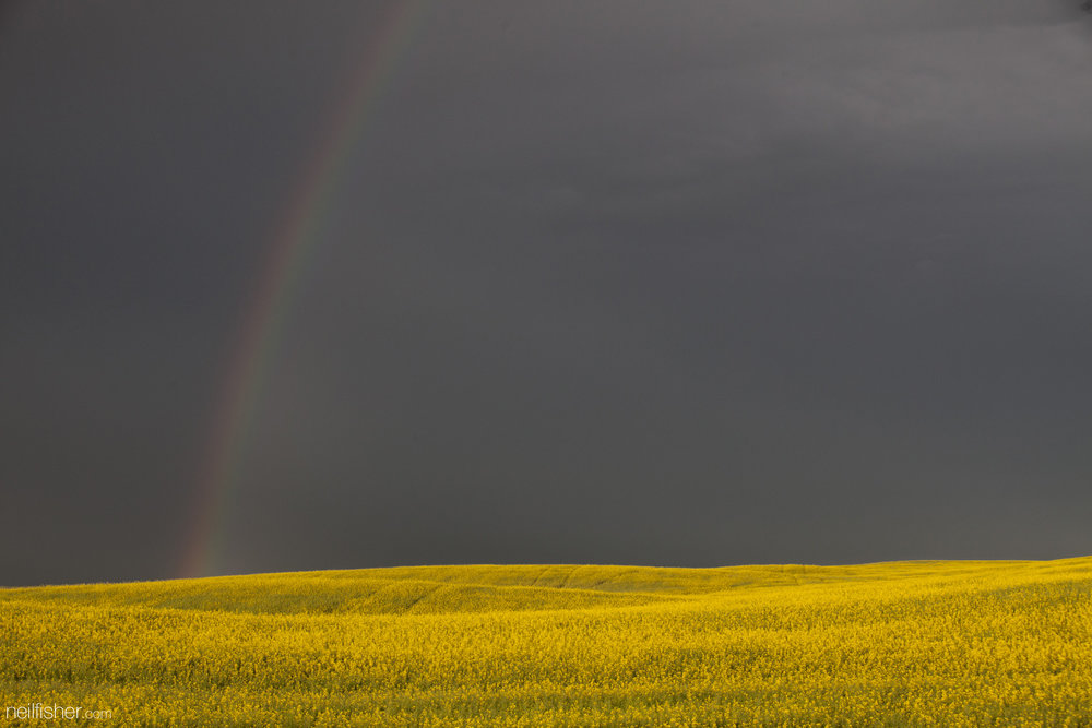 As if the intense yellow of blooming canola fields wasn't impressive enough, the added contrast of the approaching ominous storm clouds certainly made this a roadside photo too great to pass up. Somewhere between Rosetown and Swift Current along highway 4, numerous storm cells made their way across the sky, dragging their shadows along the landscape below. Canada produces on average 17 tonnes of canola annually, with Saskatchewan contributing around 47%. Canola has many end uses, such as fuel, ink for printing, fertilizer, high-protein livestock feed, and of course salad dressing.  EXIF 1/160sec f/8.0 ISO 400 70mm July 12th 2015 20:25 Stewart Valley, Saskatchewan.