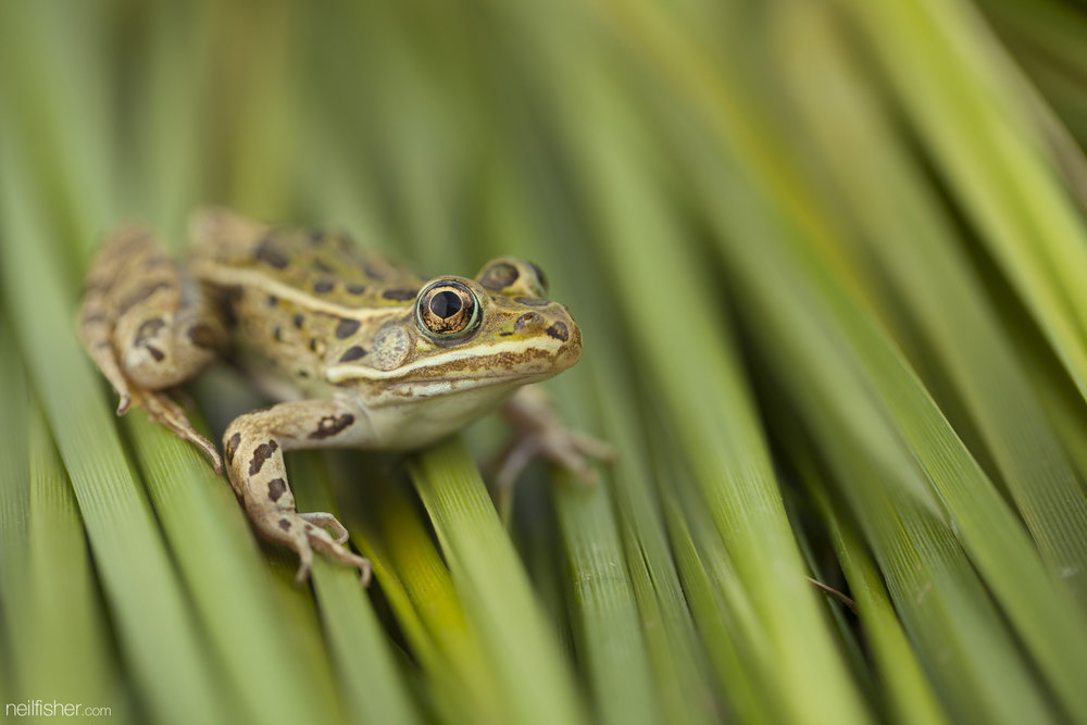 """The northern leopard frog was once the most abundant and widespread frog species in North America. However, through a combination of ecological factors, such as pollution, deforestation, water acidity, and collection for educational dissections and their tasty legs - the Canadian prairie population of northern leopard frog is listed as """"threatened"""" by COSEWIC. Further west the Rocky Mountain population of northern leopard frogs isn't doing any better and is listed as """"endangered"""". It's not easy being green and a simple way to help the northern leopard frog is to use natural, chemical free methods of pest and weed control - it's also better for us in the long run. They feed upon anything that fits in their mouth and sit perfectly still waiting to ambush any meal that crosses their path. Common prey items include beetles, ants, flies, worms, smaller frogs, and occasionally a bird or two.  EXIF 1/320sec f/4.0 ISO 100 100mm May 25th 2015 16:15 Chief Whitecap Park, SK"""