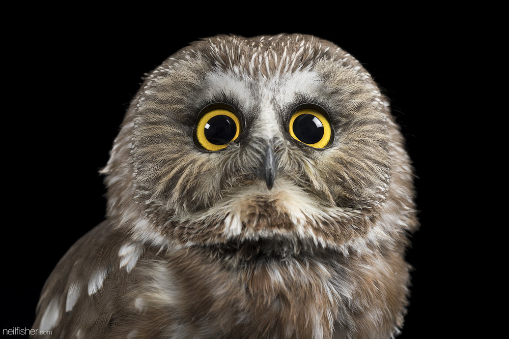 Meet Carl, an adorable northern saw-whet owl, who was admitted to the Western College of Veterinary Medicine (WCVM) Veterinary Medical Centre. He was unable to fly and showed evidence of head trauma, damage to the right eye, and an infection. The Wild and Exotic Animal Medicine Society (WEAMS) is a non-profit organization operated by student volunteers at the WCVM and they aided in Carl's care. After three weeks of treatment with antibiotics, pain relievers, and anti-inflammatory medications, Carl was released back into the wild.  The northern saw-whet owl is one of the most common owls in the forests of North America, but it's also highly nocturnal and seldom seen. It's believed the northern saw-whet owl was named for it's call sounding similar to a saw being sharpened on a whetting stone. They grow no taller than twenty centimeters and weigh to a hefty 150 grams.  EXIF 1/160 sec f/9.0 ISO 100 100mm November 8th 2016 18:10 Saskatoon, SK.