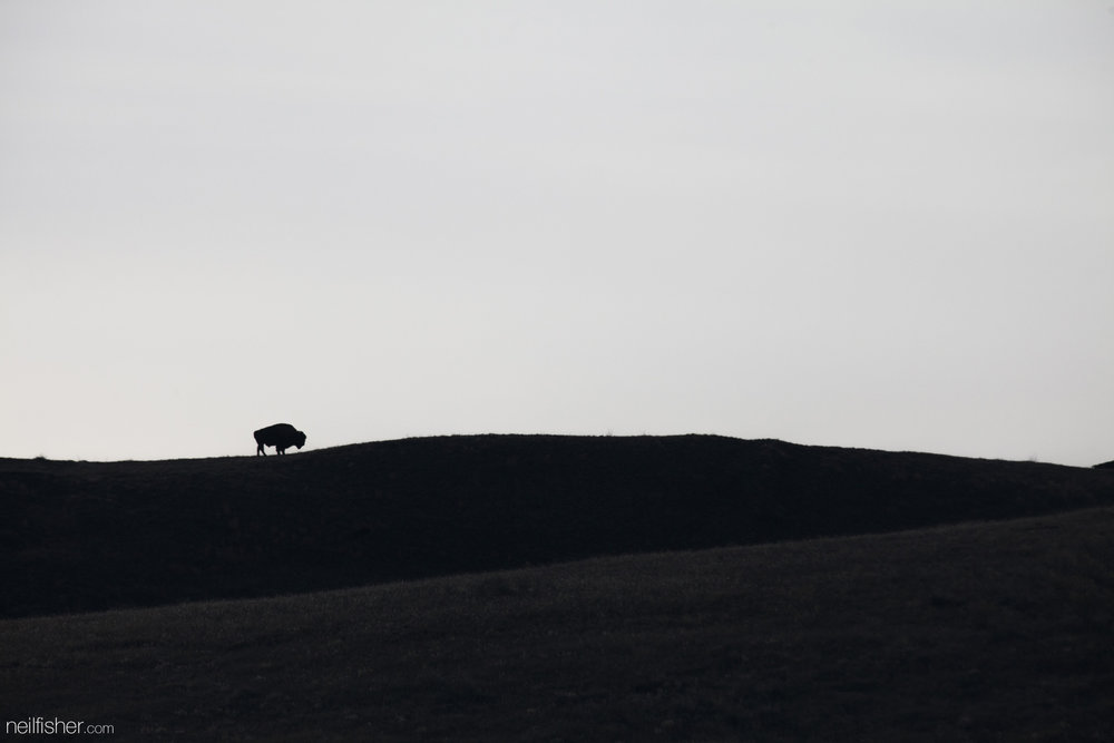 Bison have dynamic social groupings that change with the seasons. Bulls are found with a small number of other bulls or are often completely solitary. They only join larger herds of cows and young sexually immature males during breeding season in the summer. I watched this bull graze along the top of this ridge for over an hour. On occasion he would rest and seemingly gaze out over the valley below him. They're such massive and powerful animals that dwarf even the landscape they inhabit and yet I find them so peaceful to watch.  EXIF 1/1600sec f/8.0 ISO 400 400mm March 20th 2016 17:07 Grasslands National Park, SK.
