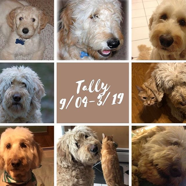 My heart is breaking. Tally the Floofer-Doodle came to live with us when she was only 7 weeks old. From tiny pup to gangly teen to professional rug dog, not a day went by when she didn't bring us love and joy. She was my constant writing companion, and I'll miss her head on my lap while I work on the sofa. I'll miss watching her take food out of her bowl and offer it to the cats and the way she'd let them walk all over her—and fall asleep upon her. She didn't have an alpha bone in her body, truly a lover and not a fighter. Today we had to say goodbye. I'm going to miss her so much. #goldendoodlesofinstagram #goldendoodle
