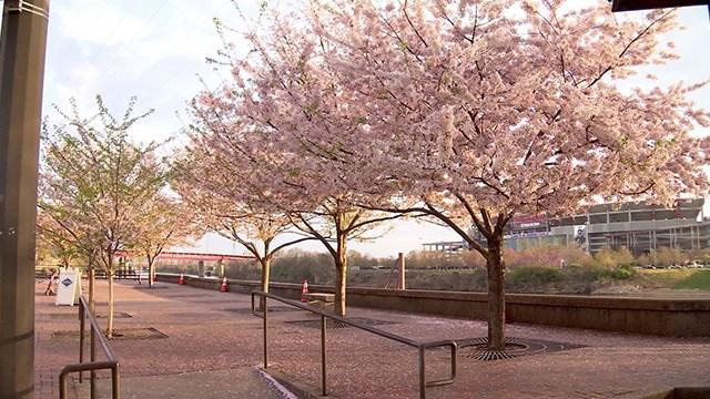 Nashville Nfl Cherry Tree Update Nashville Tree Conservation Corps