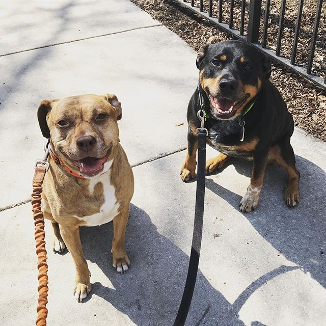 Pepper & Gwen supes excited to be out today in #chicago weather! Days like these that make living in our crazy weather worth it! . . #wcpfamily #dogsofchicago #pupsofriverwest #pupsofinstagram #dogsofinstagram #pupsofchicago #doggos #puppers #handsomedog #dogsofchicago #chicagodogs #pupstagram #instapets #pets #dogs #instadogs #petstagram #dogstagram #dogsofinstagram #rescuedogsofchicago #rescuedog