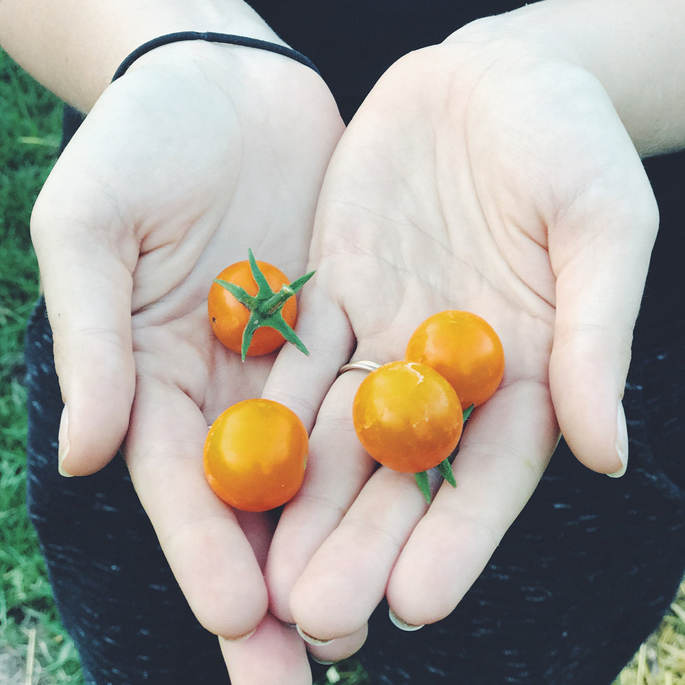 tomatoes (resized).jpg