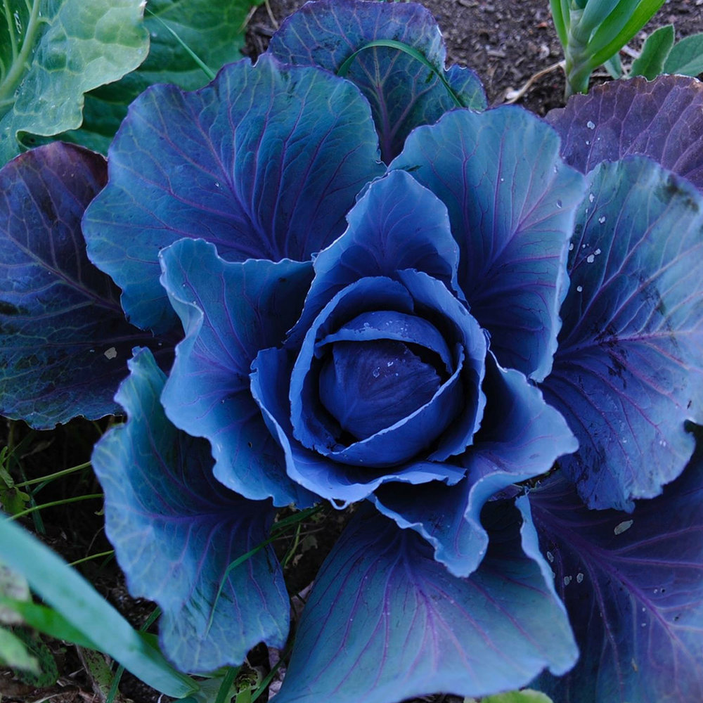 cabbage (small).jpg