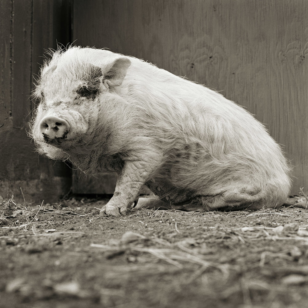 Violet, Potbellied Pig, Age 12, II