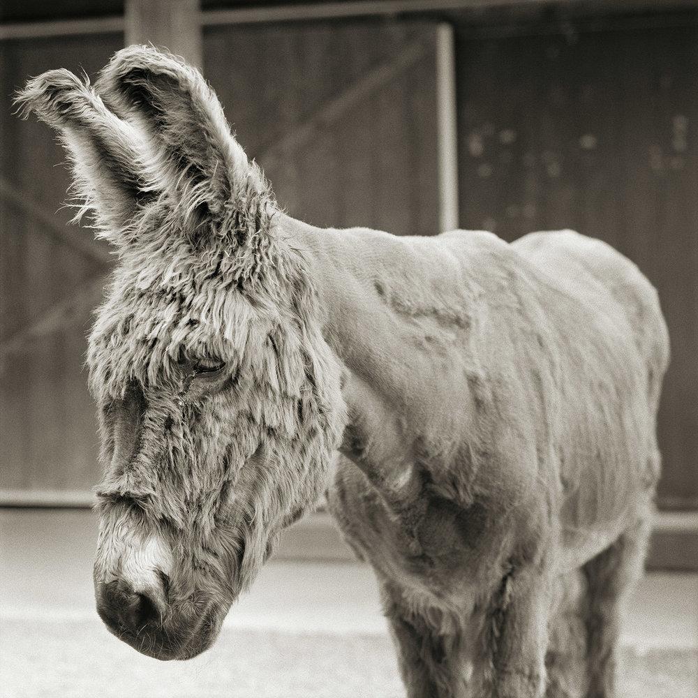 Babs, Donkey, Age 24, I