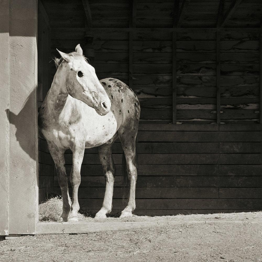 Buddy, Appaloosa Horse, Age 28,