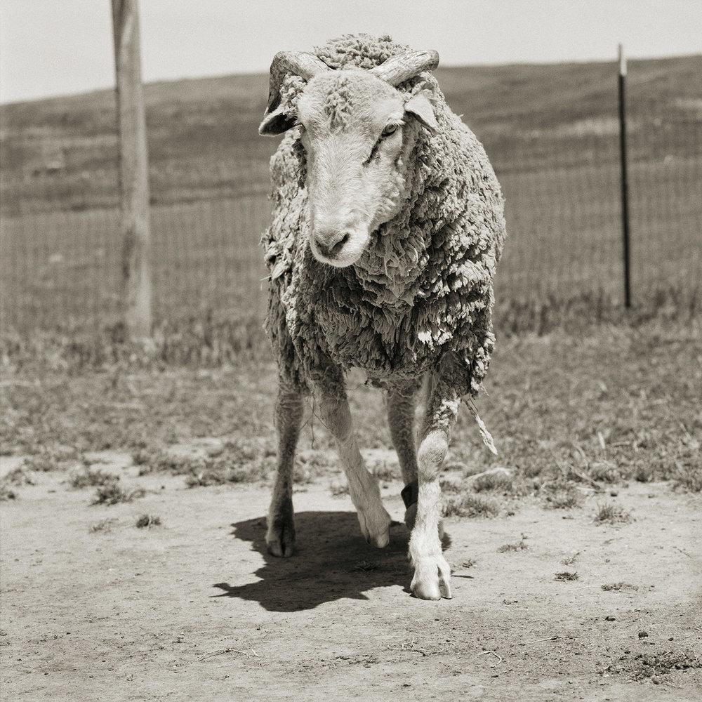 Forest, Santa Cruz Sheep, Age 16