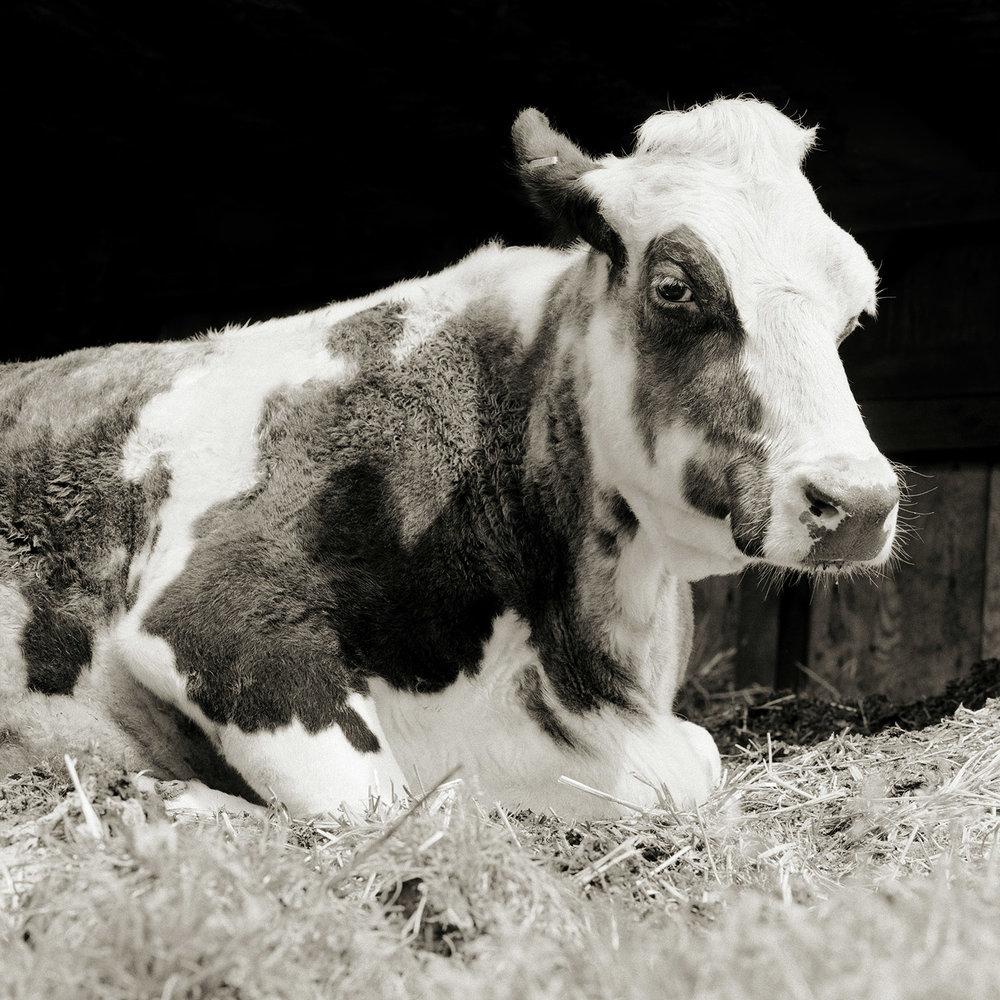 Bessie, Holstein Cow, Age 20