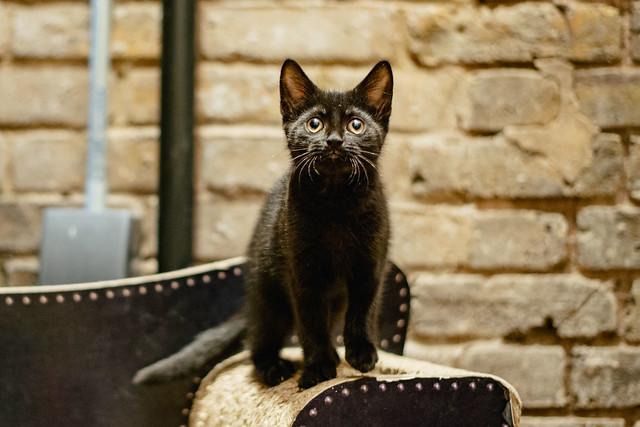 Lady_Dinahs_Kittens_Pip.jpg