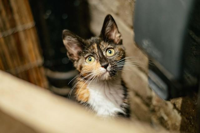Lady_Dinahs_Kittens_Estella.jpg